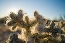 Cactus In Joshua Tree National...