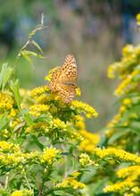 A Variegated Fritillary Brushfoot Butterfly, Euptoieta Claudia, Rests On A Goldenrod