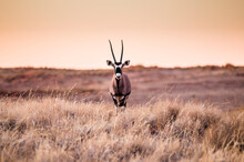Portrait Of Oryx In Namibrand ...