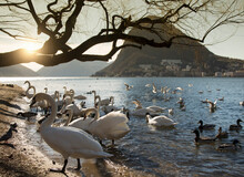 Flock Of Swans And Ducks On Lakeside,  Lake Lugano, Tessin, Switzerland