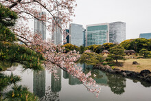 Cherry Blossom Trees By Lake, ...