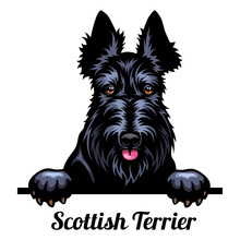 Head Scottish Terrier - Dog Breed. Color Image Of A Dogs Head Isolated On A White Background