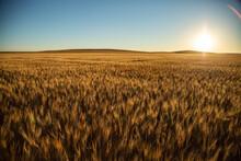 Morning Light Over Wheat Field