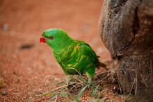 Portrait Of Scaly-breasted Lorikeet, Trichoglossus Chlorolepidotus, Perched In Orange Sand. Beautiful Green Parrow With Red Beak Yellow Breast Feathers. Colorful Bird In Nature. Habitat Australia.