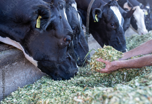 Fotografija Farmer feeding cows with lucerne