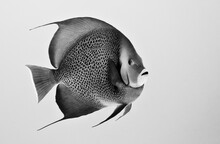 Gray Angelfish Swimming Undersea