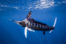Striped Marlin Hunting For Sardines In Sea