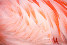 Close Up Of Chilean Flamingo's Feather