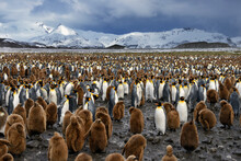 King Penguin Colony At Salisbu...