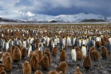 King Penguin Colony At Salisbu...