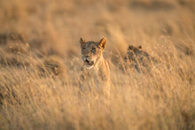 Portrait Of Lioness Standing In Grass