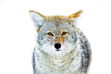 Portrait Of Coyote In Yellowstone National Park