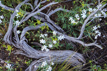 Close Up Of Phlox Flowers And Tree Trunk In Grand Teton National Park