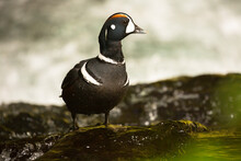 Close Up Of Harlequin Duck