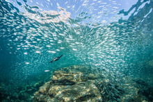 Cormorant Bird Swimming Underwater Hunting Baitfish