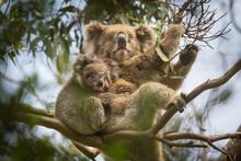 Doe And Joey Koala Sitting On Branch