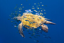 Sea Turtle With Fish Swimming ...