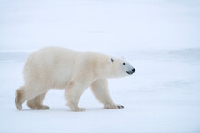 Polar Bear Walking On Snowy La...