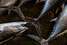Close Up Of Tuna Selling At Katsuura Fish Market