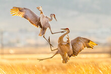 Sandhill Cranes Fighting Mid A...