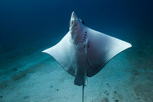 Portrait Of Spotted Eagle Ray Swimming In Sea