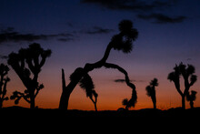 Silhouette Of Joshua Trees In Joshua Tree National Park During Sunset