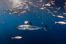 Great White Shark And Fish Swi...