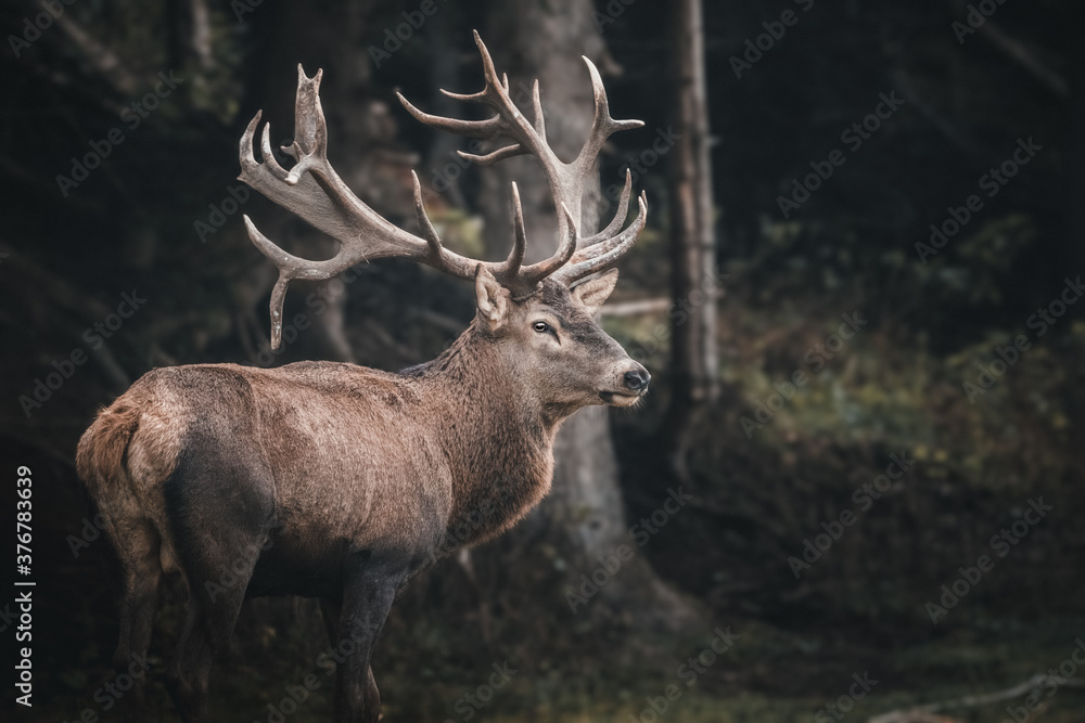 Fototapeta red deer in the forest
