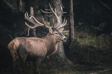 Red Deer In The Forest