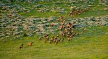 Herd Of Elk Walking On Grass