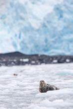 Sea Lion Lying On Ice In Kenai...