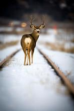 Portrait Of Mule Deer