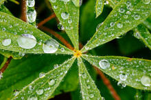 Close Up Of Dew Drops On Lupine Leaves