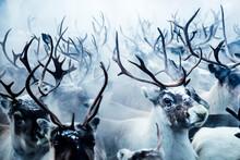 Group Of Reindeer In Lapland, Sweden