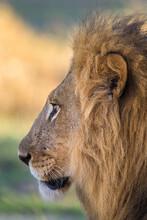 Close Up Of Wild Lion