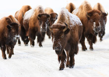 Bison In Yellowstone National ...