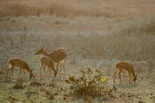 Spotted Deer Grazing On Grassy Landscape