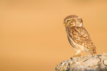 Close Up Of Little Owl Perchin...