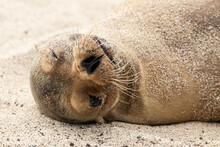 Close Up Of Galapagos Sea Lion Sleeping On Beach