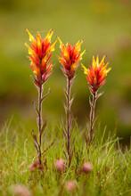 Indian Paintbrush Growing In Yosemite National Park, California