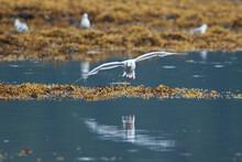 Bonaparte's Gull Flying Over Inlet