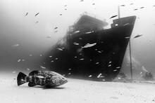 Atlantic Goliath Grouper Swimming In Sea With Divers Exploring Ana Cecilia Wreck In Background