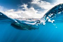 Whale Shark Swimming In Sea