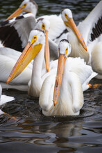 Pelicans Resting In Kabetogama...