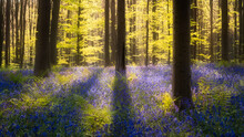 Sunlight On Bluebell Flowers I...