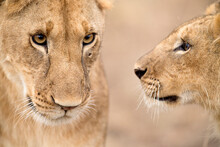 Close Up Of Lioness And Cub
