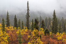 Autumn Tree Forest With Fog In Yukon's Tombstone Territorial Park