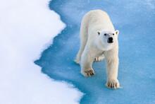 Portrait Of Polar Bear Walking Through Pack Ice Area