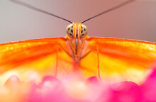 Close Up Of Captive Julia Butterfly