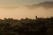 Pronghorn Antelope Standing On Fog Covered Landscape